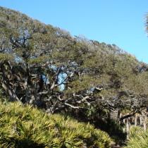 wind-pruning_oak