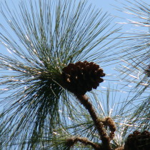 Longleaf_needles_PInus_palustris_SCI
