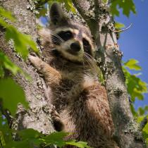 900px-Raccoon-27527-2