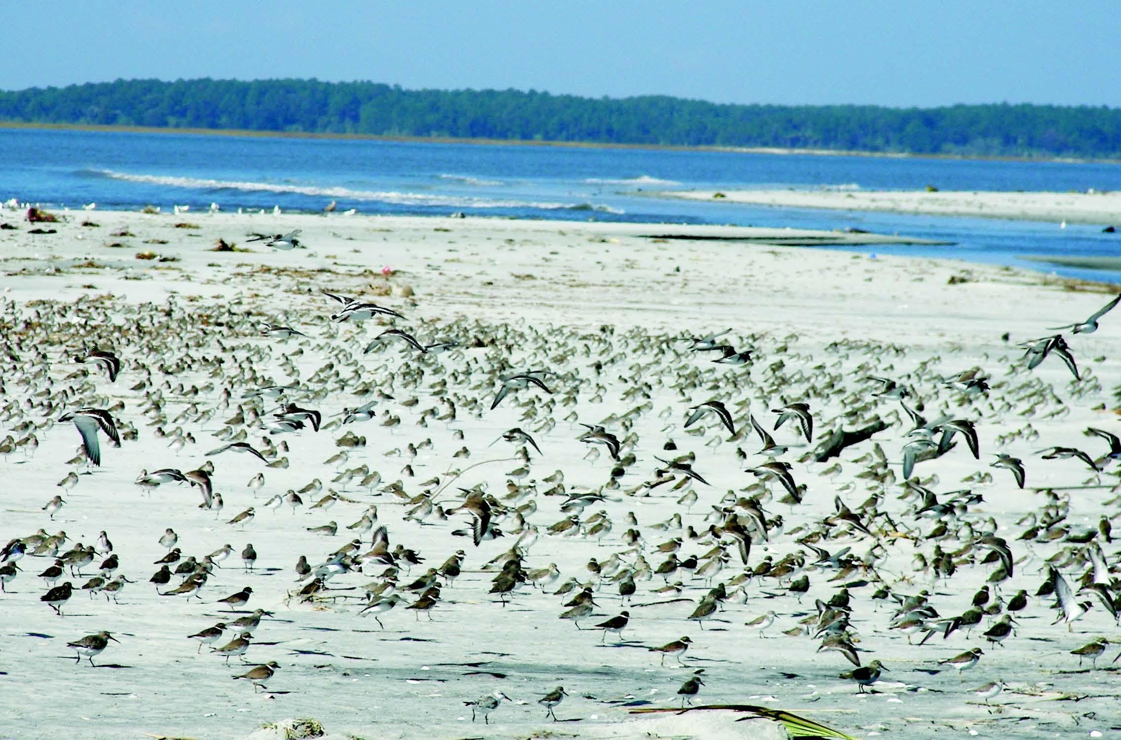 Shorebirds St Catherines Island